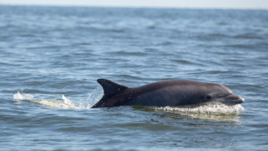 Photo of In the Cleaned-Up Potomac River, Dolphins Are Living, Mating – and Even Giving Birth