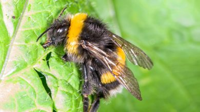 Photo of Cheeky Bumblebees Adapt to Climate Change by Tricking Plants