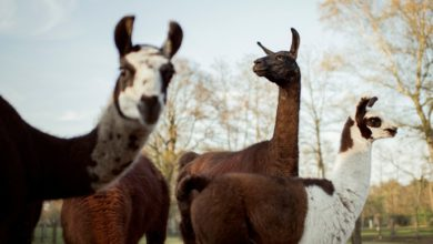 Photo of Could Llamas (Yes, the Spitting Animals!) Really Help Us Fight Coronavirus?