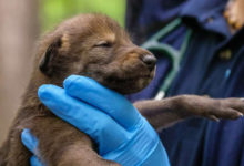 Photo of Five Pups Might Help Save Red Wolf from Extinction