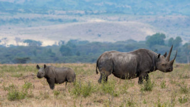 Photo of Good News for Black Rhinos, as Their Numbers Grow One Baby at a Time
