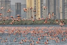 Photo of Pink Flamingos Just Have a Great Time During Lockdown in Mumbai