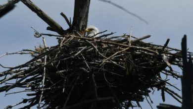 Photo of Bald Eagle Population Soars: Nest Spotted in Town for the First Time in 115 Years