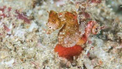 """Photo of They Discovered a """"New"""" Seahorse – and It's So Small!"""