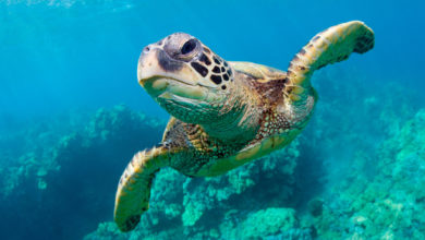 Photo of Endangered Sea Turtles Show a Comeback in the Pacific Over the Past 13 Years
