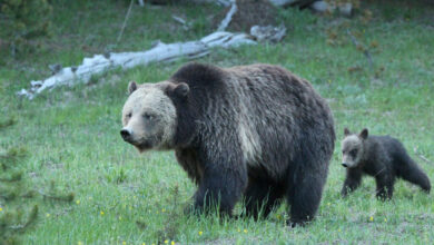 Photo of Lives of Grizzly Bears Must Remain Protected by Law, Rules Court