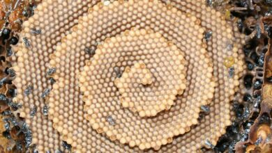 Photo of Bees Follow Algorithm to Build Honeycombs, Scientists Find out