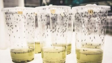 Photo of How to Stop Dengue Fever and Save Thousands of Lives? By Infecting Mosquitos with Bacteria