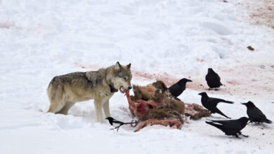 Photo of How Wolves in Yellowstone Help the Elk Population (Basically by Eating Them)