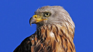 Photo of Near Extinct, Majestic Bird of Prey Made a Big, Fat Comeback