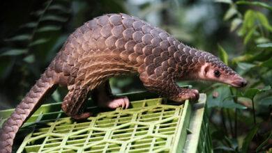Photo of No More Cobra, Turtle, and Pangolin on Vietnam's Food Menus