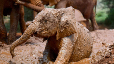 Photo of The Elephant Population in Kenya is Booming, Poaching on Decline