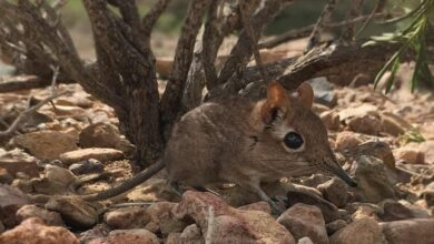 Photo of We Thought the Tiny Elephant Shrew was Extinct. Surprise: It is Alive and Well!