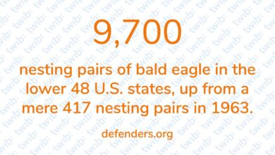 Photo of 9,700 nesting pairs of bald eagle in the lower 48 U.S. states, up from a mere 417 nesting pairs in 1963.