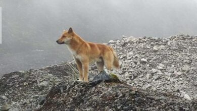 Photo of The New Guinea Singing Dog Is Alive and Free (and Howling) in the Wild