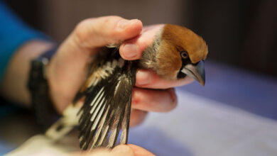 Photo of France Now a Better Place for Birds, as President Forbids Glue Traps to Catch Them In