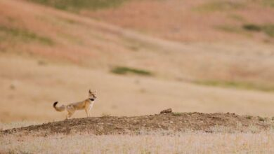 Photo of The comeback of the Swift Fox (It Took 50 Years)