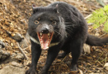 Photo of The Tasmanian Devil Is Back on Australia's Mainland – After 3,000 Years