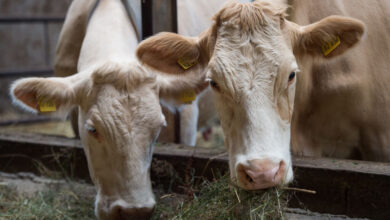 Photo of Will Cows Eat Seaweed Soon to Help Fight Climate Change?