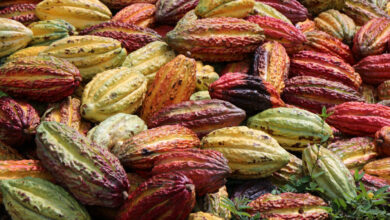 Photo of This App Follows Cacao Trees from Seed to Sale