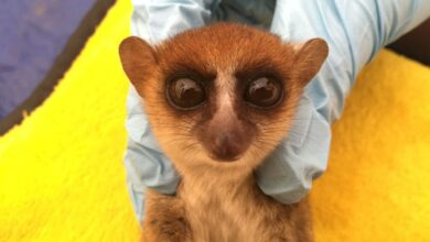 Photo of How They Found Two New Species of Tiny, Endangered Primates