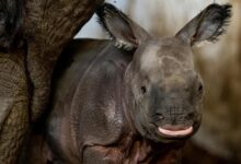 Photo of It's a Girl! Endangered Rhino Born at Poland Zoo
