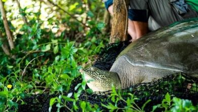 Photo of Now That a Female Turtle Has Been Found, This Species Could Survive