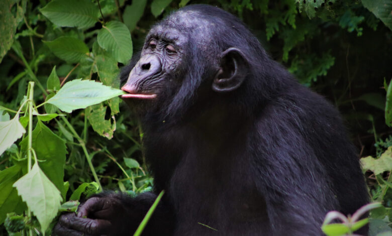 https://www.twib.news/wp-content/uploads/2021/04/cropped-twib-good-news.only-children-can-help-save-bonobos-from-extinction-here-is-how-scaled-1.jpg